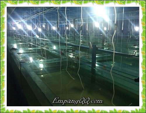 Indoor Hatchery Bersih untuk kwalitas super