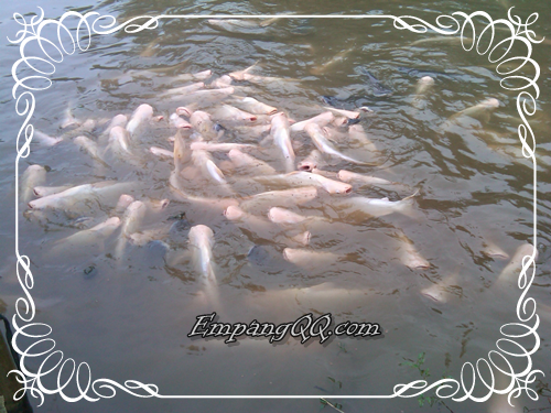 Ikan Patin Albino