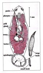 Monogenea – ectoparasitic flukes