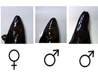 Pembenihan Ikan Hias Black Ghost Catfish Fabrication