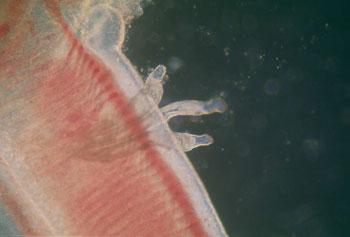 parazita fluke)