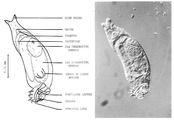 parazita fluke