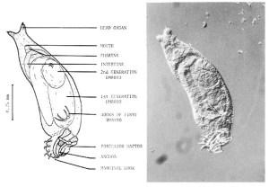 Dactylogyrus sp