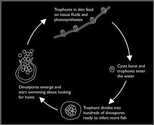 Siklus Hidup Oodinium
